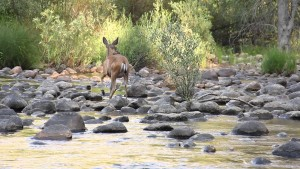 deer crossing river