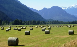 Haybales_in_pemberton